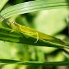 Bird Grasshopper (nymph)