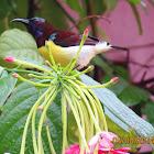 Purple -rumped Sunbird (male)