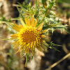 Clustered Carline Thistle