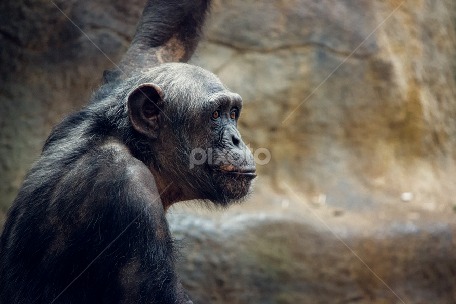 Chimpanzee by Leigh Brooksbank - Animals Other Mammals ( colchester zoo, chimpanzee, apes, captive animals )