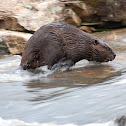 Northern American Beaver