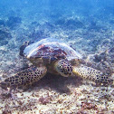 Hawaiian Green Sea Turtle/ Honu