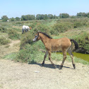 Baby Camargue horse