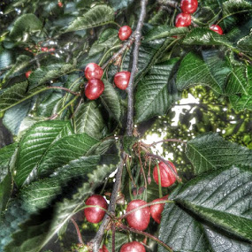Last Season Cherries by Nat Bolfan-Stosic - Nature Up Close Trees & Bushes ( cherry, tree, last, season, garden, red, green )