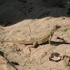 Ngo Vantri's lady butterfly lizard