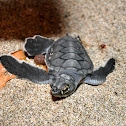 Baby Eastern Pacific Green Turtles