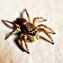 Araña Saltarina Hembra
