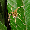 tropical wolf spider