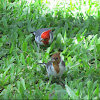 Brown and red crested cardinals