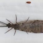 Spring Fishfly, male