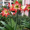 amaryllis。孤挺花