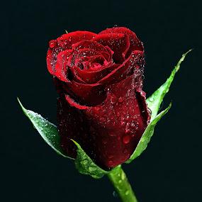 RED ROSE by Almas Bavcic - Flowers Single Flower
