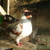 Short Pigeon
