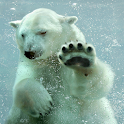 Polar Bear Live Wallpaper icon