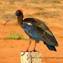 Red-naped Ibis,Indian Black Ibis