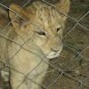 Lion (cubs)