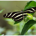 The Zebra Longwing or Zebra Heliconian