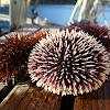 Sea urchins off the coast of Sardinia, Italy