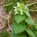 """Purple"" Deadnettle"