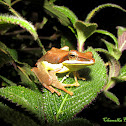 Mountain Hour glass Tree frog