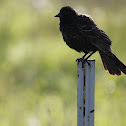 Red Winged Blackbird (Juvenile Male)