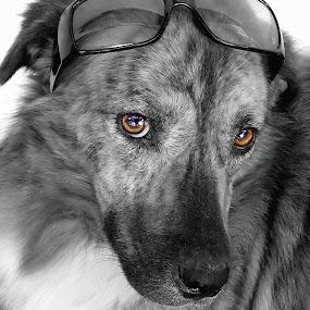 Brino by Benaya Agung - Animals - Dogs Portraits ( glass, dog portrait, dog )