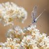 (Male) Ceraunus Blue
