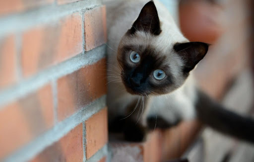 Siamese Cat Wallpapers HD