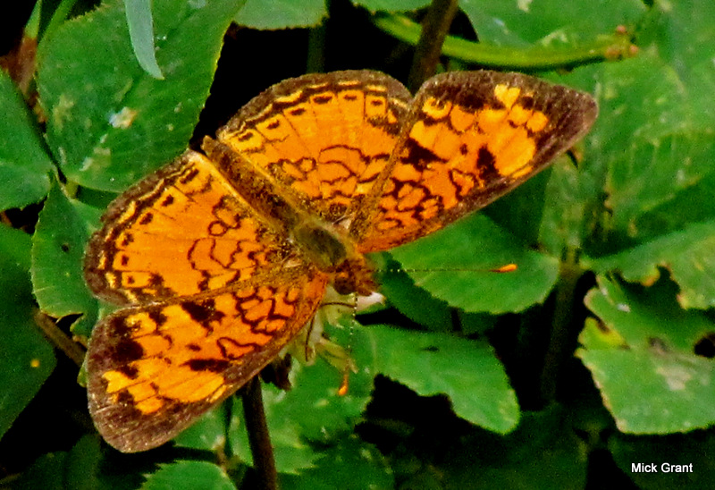Pearly Crescentspot (Male)
