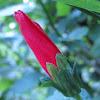 Sleeping Hibiscus