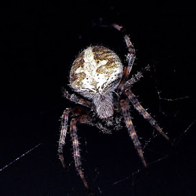 Spider with Little Red Eyes by Donna Pavlik - Nature Up Close Webs (  )