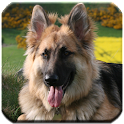 German Shepherd - HD Wallpaper icon