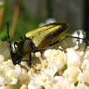 Golden Flower Longhorned Beetle