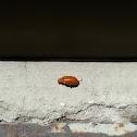 Cucurbit Leaf Beetle