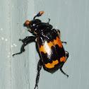 Sexton Beetles