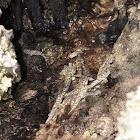 Common Mudskipper