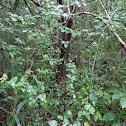 Beechleaf Croton
