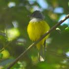 Grey-headed Canary-flycatcher