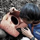 Rafflesia arnoldi