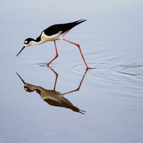 Reflection by Cheryl Nestico - Animals Birds ( gilbert, black neck stilt, birds,  )