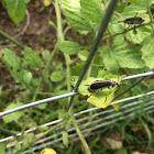 Margined Blister Beetle