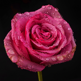 rose with raindrops by Cristobal Garciaferro Rubio - Flowers Single Flower ( flwoers, petals, drop, drops, flower, petal )