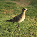 Kolea (Pacific Golden Plover)