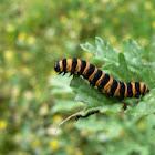 Cinnabar Moth Larvae