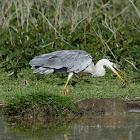 Heron - Grey Heron
