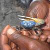 Mangrove fiddler crab