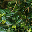 Holly with green berries