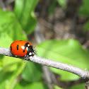 Transverse Lady Beetle