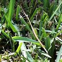 Grass-like Mantis