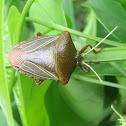 Edessa Stink Bug